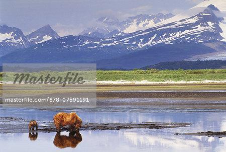 Brown bear mother and cub, Ursus arctos, Katmai National Park, Alaska