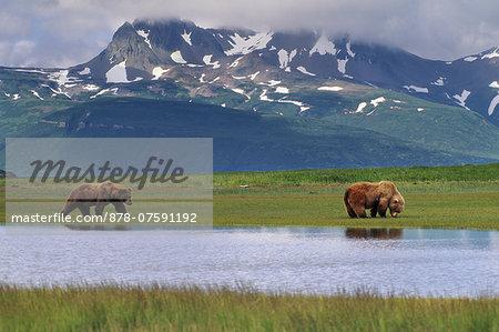 Brown bears, Ursus arctos, Katmai National Park, Alaska