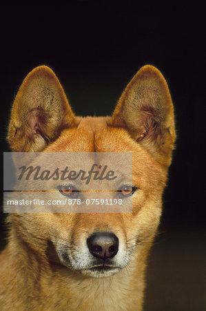 Dingo, Canis lupus dingo, Australia