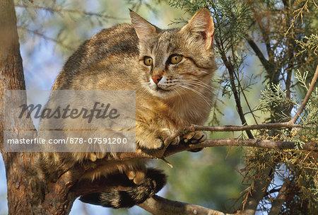 European wildcat in tree, Felis silvestris silvestris, Negev desert, Israel