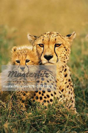 Cheetah and cub, Acinonyx jubatus, Masai Mara Reserve, Kenya