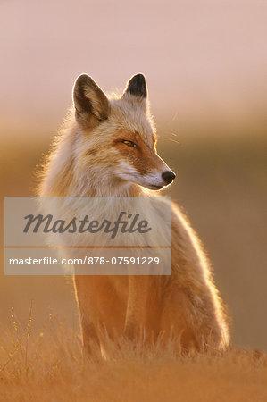 Red fox, Vulpes vulpes, Katmai National Park, Alaska
