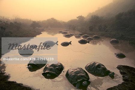 Giant tortoises in pond, Geochelone nigra, Alcedo Volcano, Galapagos Islands