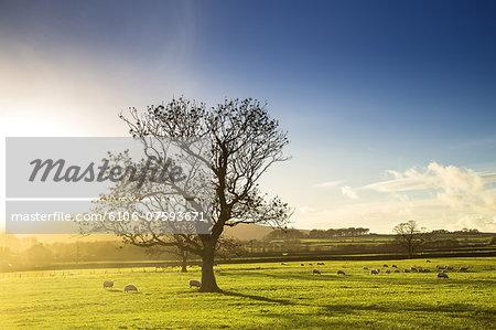 Sheep and Autumn Tree