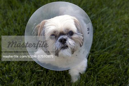 Shih Tzu dog wearing a protective medical collar