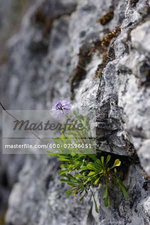 Close-up of Heart-leaved Globe Daisy (Globularia cordifolia) Blossoms in Alps in Spring, Styria, Austria