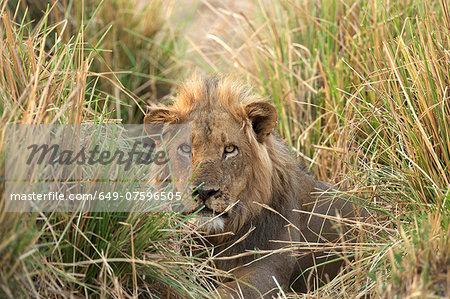 Male lion - Panthera leo - hiding in adrenaline grass, Mana Pools National Park, Zimbabwe, Africa