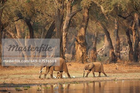 African elephants - Loxodonta africana - walking past a waterhole in acacia woodlands at dawn,  Mana Pools National Park, Zimbabwe, Africa
