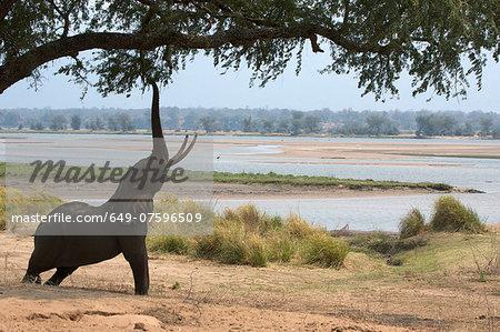 African elephant - Loxodonta africana - reaching up to acacia tree,  Mana Pools National Park, Zimbabwe, Africa