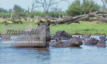 Hippos  (Hippopotamus amphibius) in water