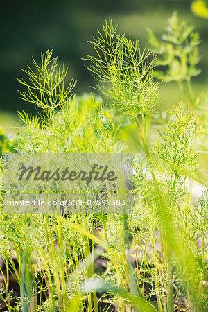 Closeup of organic grown dill (Anethum graveolens) growing in garden