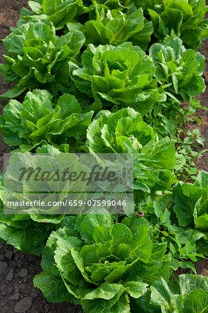 Romaine lettuce growing in the field