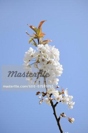 Close-up of wild cherry (Prunus avium) blossoms in spring, Bavaria, Germany