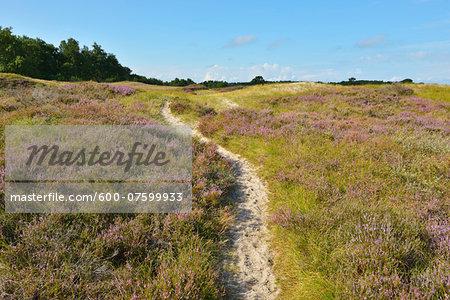 Path through Dune Heath with Pine Tree in the Summer, Baltic Island of Hiddensee, Baltic Sea, Western Pomerania, Germany