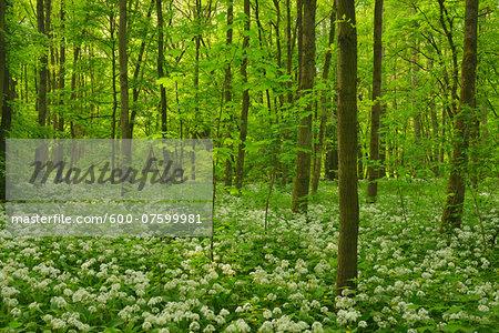 Forest with Blooming Wild Garlic, Spring, Bulau, Erlensee, Hanau, Hesse, Germany