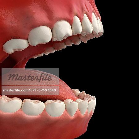 Healthy teeth, computer artwork.