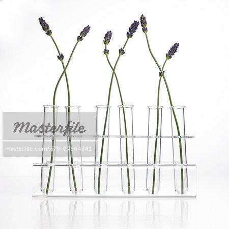 Lavender (Lavandula sp.) stems.
