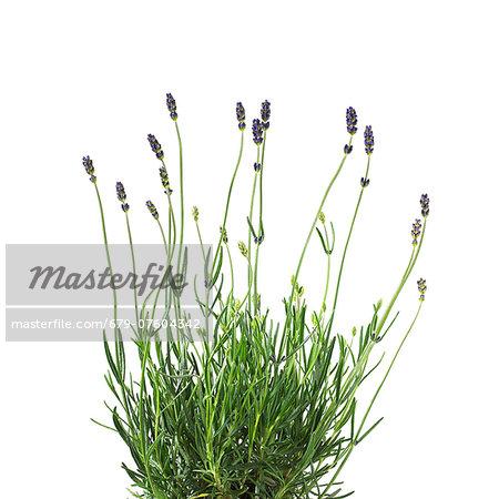 Lavender (Lavandula sp.) plant.