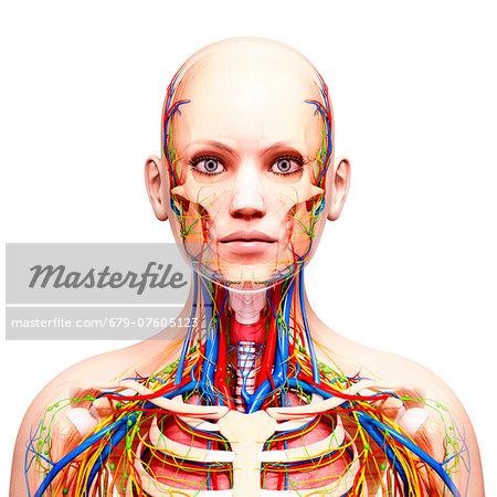 Female anatomy, computer artwork.