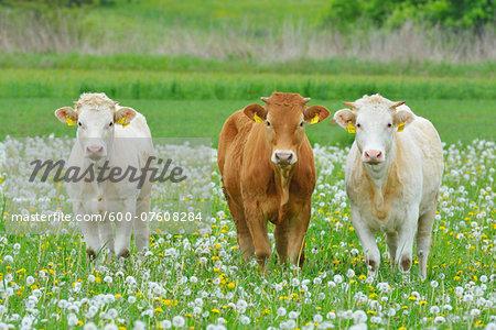 Cows in Meadow, Miltenberg, Bavaria, Germany, Europe