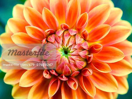 Aster flower, close up.