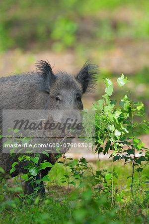 Portrait of Wild boar (Sus scrofa), Hesse, Germany, Europe