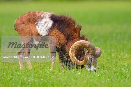 European Mouflon (Ovis orientalis musimon), Ram, Male, grazing in field, Hesse, Germany, Europe