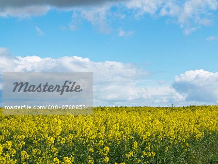 View of Canola field, Weser Hills, North Rhine-Westphalia, Germany