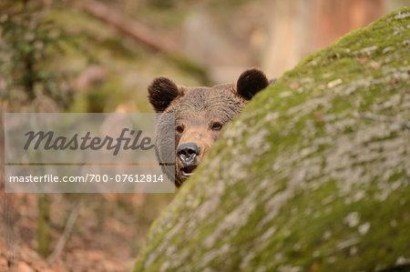 Portrait of a Eurasian brown bear (Ursus arctos arctos) in a forest in spring, Bavarian Forest National Park, Bavaria, Germany