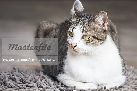 Siamese cat sitting on carpet, stock photo