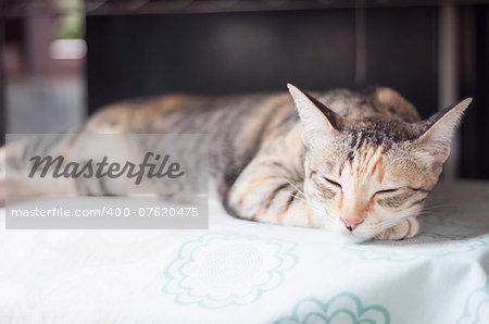 Siamese female cat sleeping indoor, stock photo