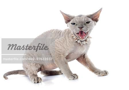 devon rex cat in front of white background