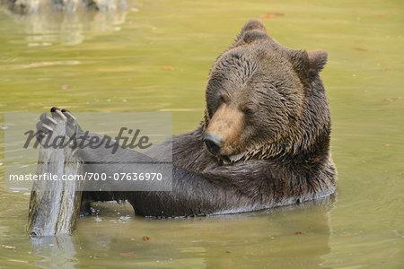 Close-up of Eurasian Brown Bear (Ursus arctos arctos) in Water in Spring, Upper Palatinate, Bavaria, Germany