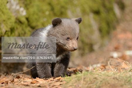 Close-up of Eurasian Brown Bear (Ursus arctos arctos) Cub in Forest in Spring, Upper Palatinate, Bavaria, Germany