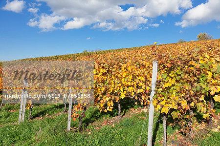 Vineyards in autumn, Esslingen, Baden Wurttemberg, Germany, Europe