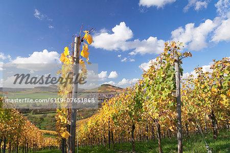 Vineyards in autumn, Oberstenfeld, Ludwigsburg District, Baden Wurttemberg, Germany, Europe