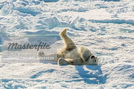Adult polar bear (Ursus maritimus) cleaning fur on ice floe, Cumberland Peninsula, Baffin Island, Nunavut, Canada, North America