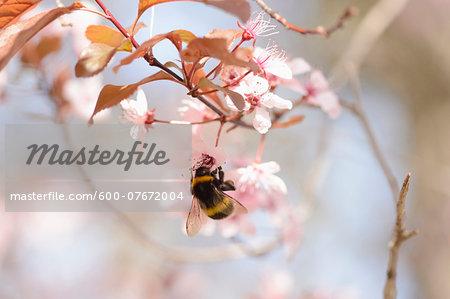 Close-up of Tree Bumblebee (Bombus hypnorum) on Cherry Plum (Prunus cerasifera) Blossom in Spring, Franconia, Bavaria, Germany