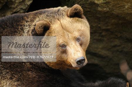 Close-up portrait of a European brown bear (Ursus arctos arctos) in spring, Bavarian Forest National Park, Bavaria, Germany