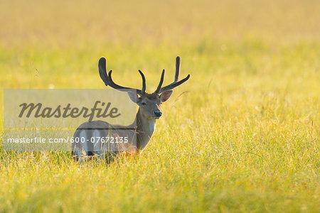 Portrait of Fallow Deer (Cervus dama) stanidng in field in Summer, Hesse, Germany, Europe