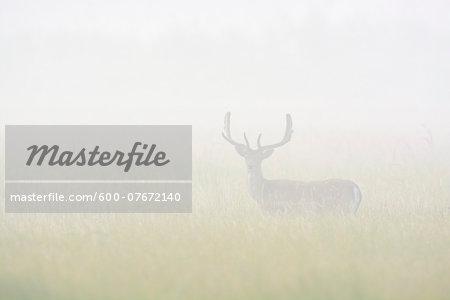 Fallow Deer (Cervus dama)  standing in field on misty morning, Hesse, Germany, Europe