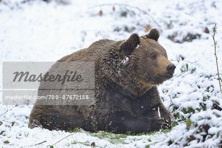 Close-up of European Brown Bear (Ursus arctos arctos) in Forest in Spring, Bavarian Forest National Park, Bavaria, Germany