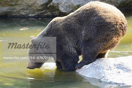 European Brown Bear (Ursus arctos arctos) taking Bath in Pond in Spring, Bavarian Forest National Park, Bavaria, Germany