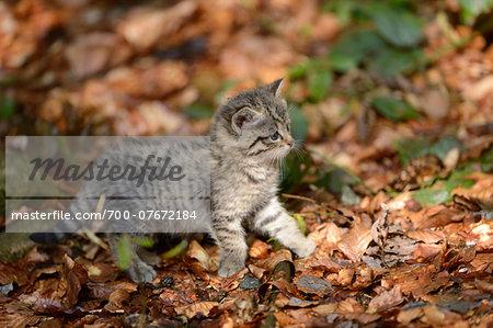 Portrait of European Wildcat (Felis silvestris silvestris) Kitten in Forest in Spring, Bavarian Forest National Park, Bavaria, Germany