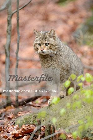 Portrait of European Wildcat (Felis silvestris silvestris) in Forest in Spring, Bavarian Forest National Park, Bavaria, Germany