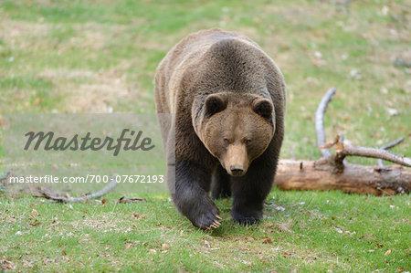 Portrait of European Brown Bear (Ursus arctos arctos) in Forest in Spring, Bavarian Forest National Park, Bavaria, Germany