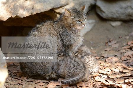 Portrait of European Wildcat (Felis silvestris silvestris) Mother with Kittens in Forest in Spring, Bavarian Forest National Park, Bavaria, Germany