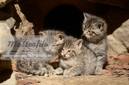 Close-up of European Wildcat (Felis silvestris silvestris) Kittens in Forest in Spring, Bavarian Forest National Park, Bavaria, Germany