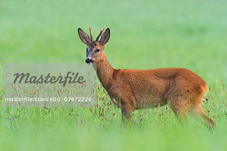 Portrait of European Roe Buck (Capreolus capreolus) in Summer, Hesse, Germany