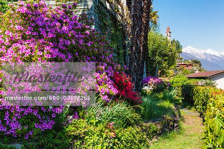 Blooming Azalea in a garden above the lake, spring, Ronco sopra Ascona, Lago Maggiore, Switzerland